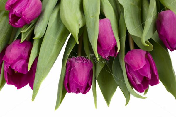 Букет фиолетовых тюльпанов на белом фоне