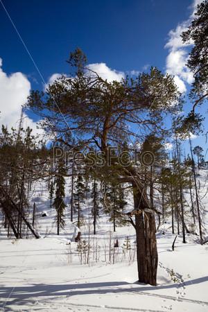 Фотография на тему Сосновый лес зимой
