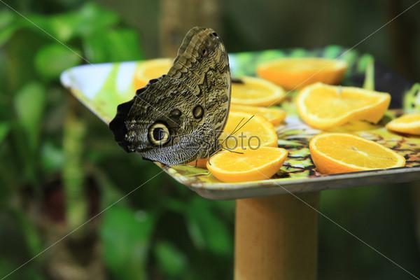 Фотография на тему Бабочка Пикок