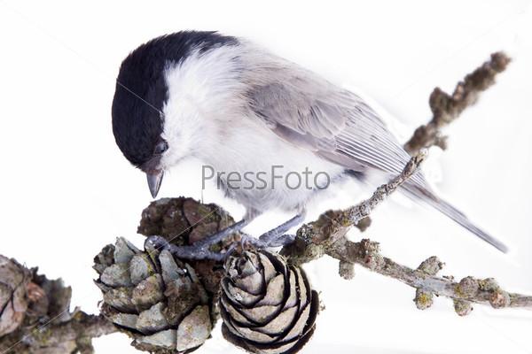 Фотография на тему Синица на ветке хвойного дерева