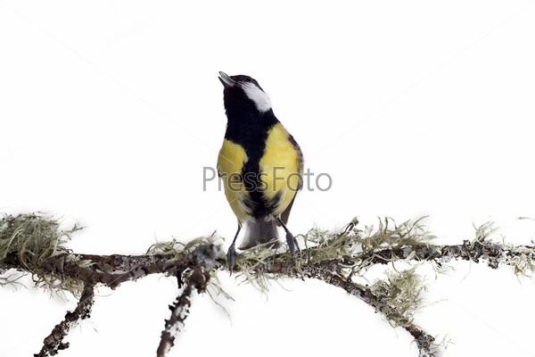 Синица на ветке хвойного дерева