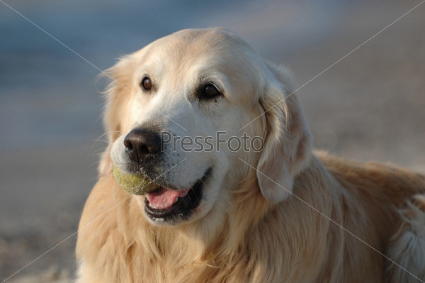 Собака голден ретривер на пляже