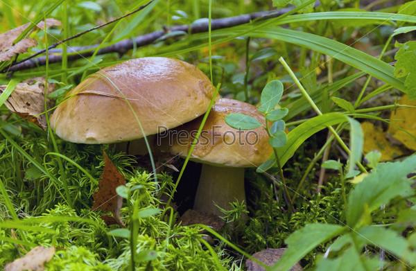 Два молодых белых гриба с блестящими шляпками среди мха и травы