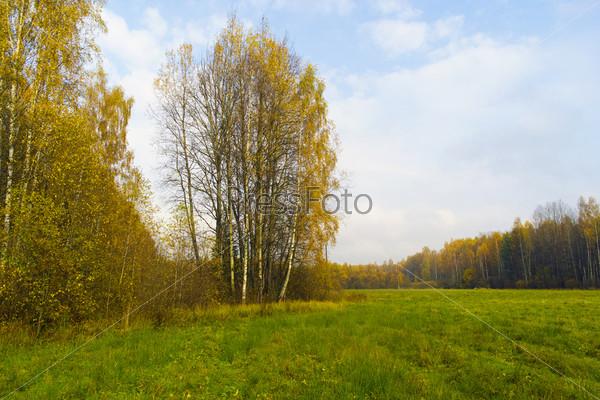 Поздняя осень. Желтые березы по краям зеленого поля