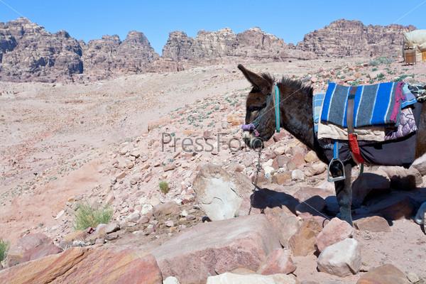 Осел бедуинов в каменной пустыне в древнем городе Петра, Иордания