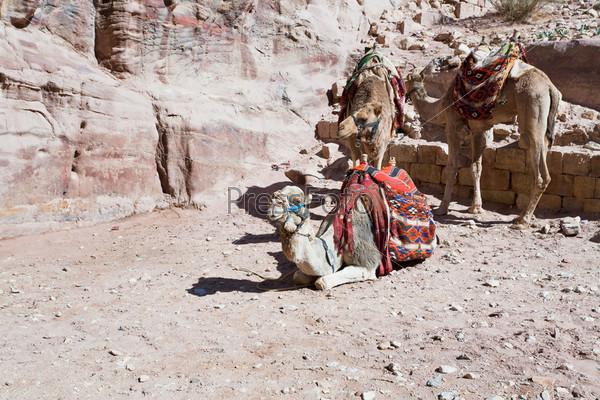 Руины древнего города Петра и верблюды бедуинов, Иордания