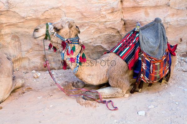 Верблюд бедуинов в древнем городе Петра, Иордания