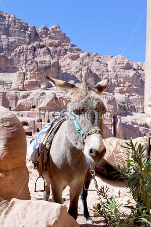 Руины древнего города Петра и осел бедуинов, Иордания