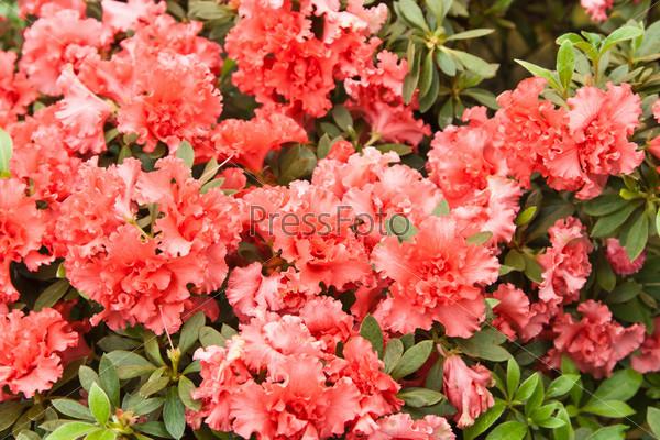 Фотография на тему Яркие цветы на кусте