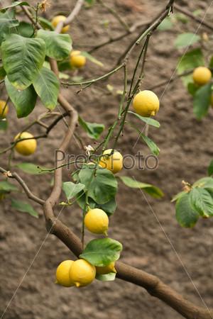 Лимоны на ветке дерева