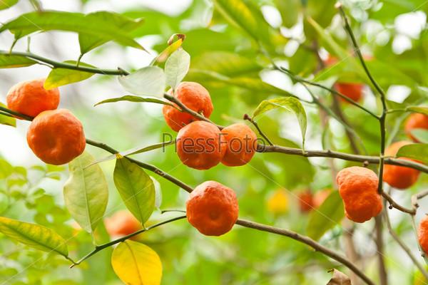 Мандарины на ветке дерева