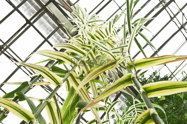 Стебли бамбука под крышей теплицы