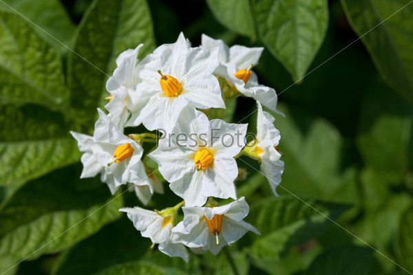Blossom of potato flowers close up
