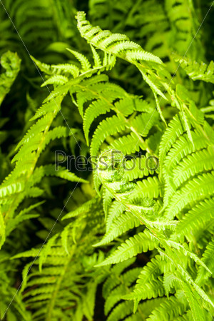 Leaves of a young fern