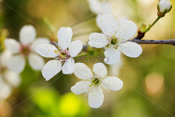 Blossoming cherry