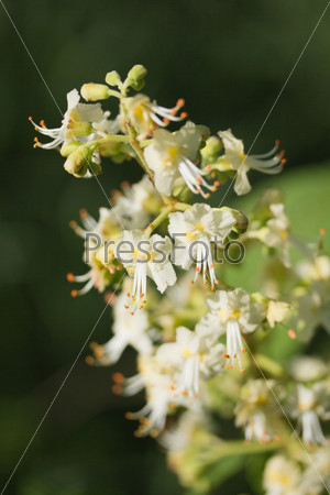Blossoming Chestnut