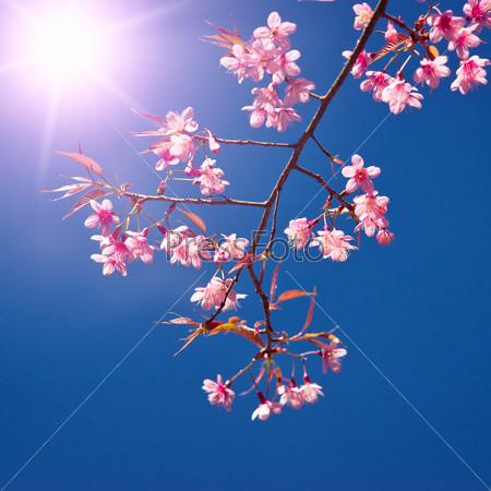 Oriental sakura