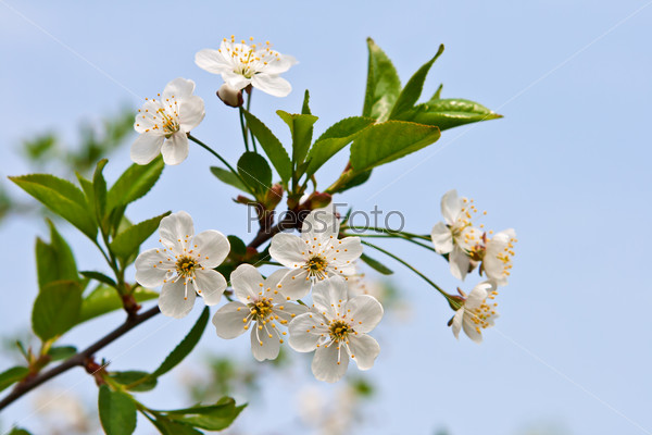 Blossoming branch of a cherry.