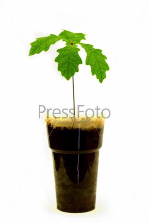 Росток дуба с зелеными листьями в пластиковом стакане