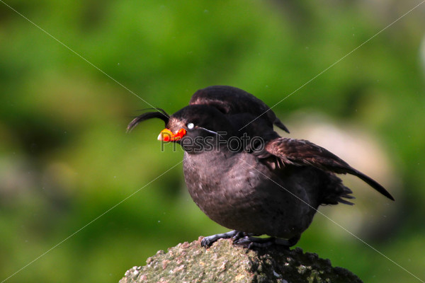 the Crested Auklet: breeding plumage