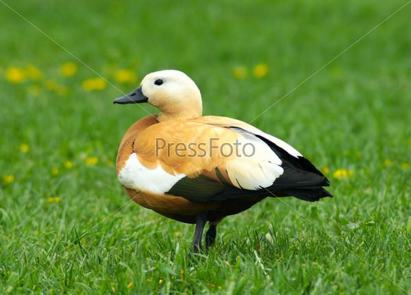 Коричневая утка на зеленой траве