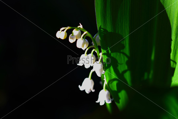 lily of the valley at sunset