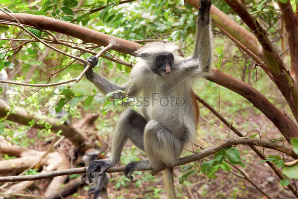 Red colobus (Piliocolobus kirki) monkey