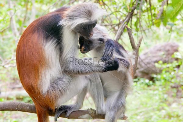 Red colobus (Piliocolobus kirki) monkeys