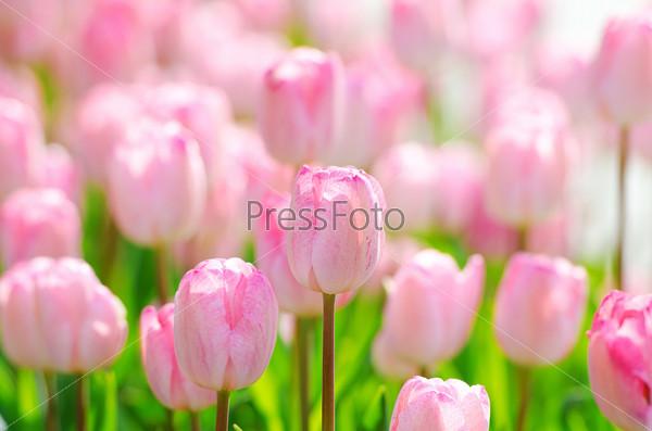 Flowers tulips in the garden