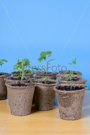 Peat pots and seedlings