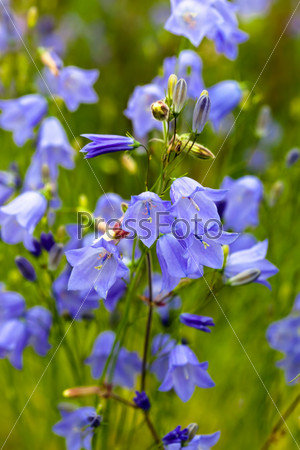 Closeup of bellflower with nature medow background
