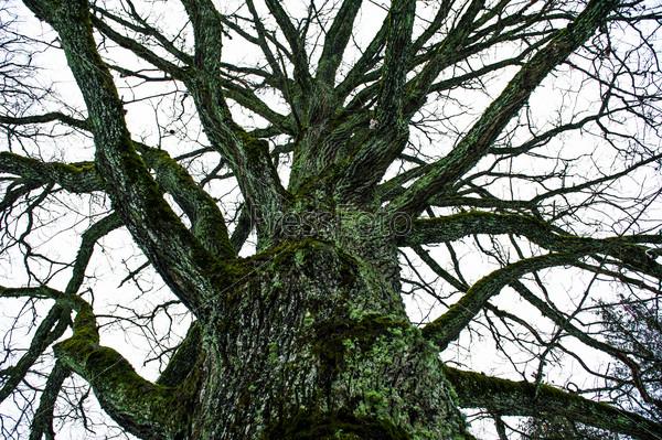 Huge oak tree outdoors