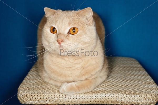 Пушистая кошка