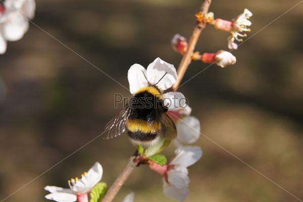 Шмель на ветке цветущего дерева