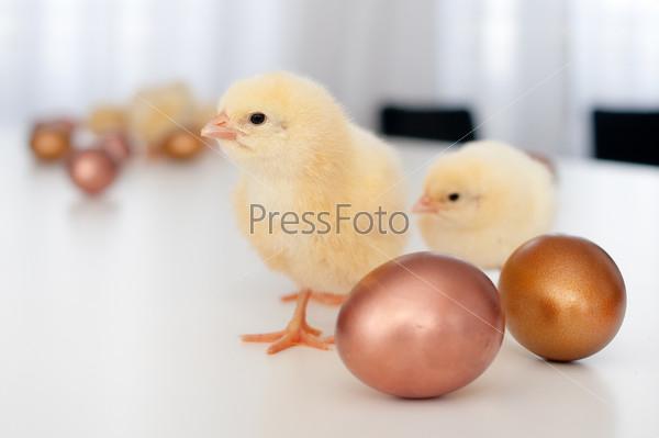 Цыплята и золотые яйца