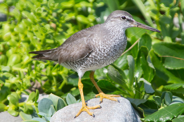 The Gray-tailed tattler