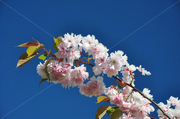 Ветка цветущей сакуры на фоне синего неба
