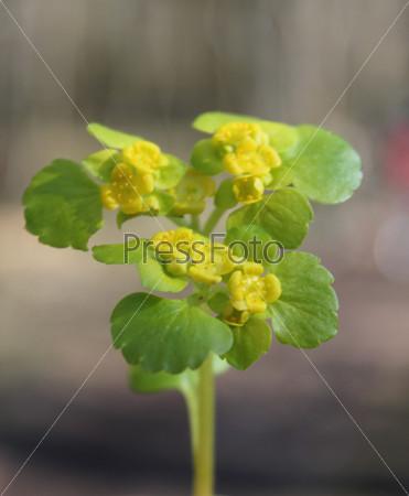Желтый весенний цветок с зелеными листьями крупным планом