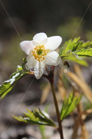 Один весенний дикий лесной декоративный цветок ветреницы