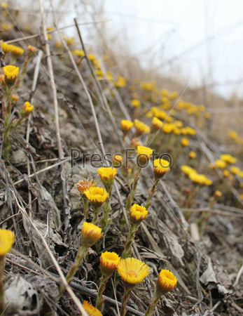 Желтые весенние цветы мать-и-мачехи