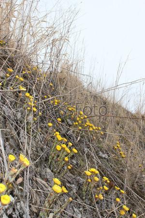 Весенние желтые цветы мать-и-мачехи на склоне с сухой прошлогодней травой