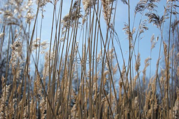 Сухой прошлогодний тростник на фоне голубого неба