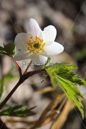 Один весенний лесной дикий декоративный цветок ветреницы