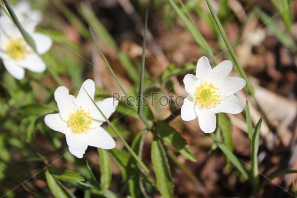 Три весенних белых цветка ветреницы в зеленой траве