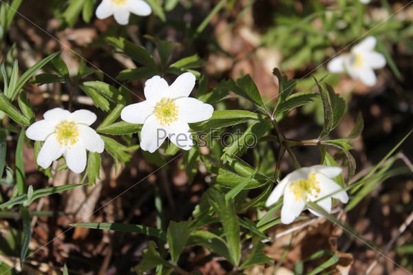 Группа весенних диких лесных белых цветов