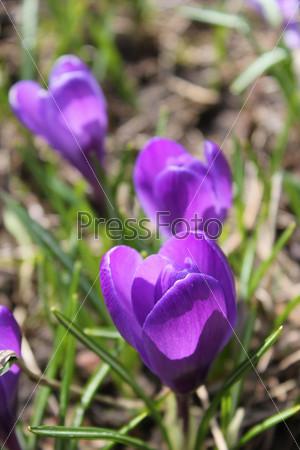 Три весенних цветка крокуса