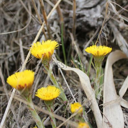 Группа желтых цветков мать-и-мачехи с сухими травами