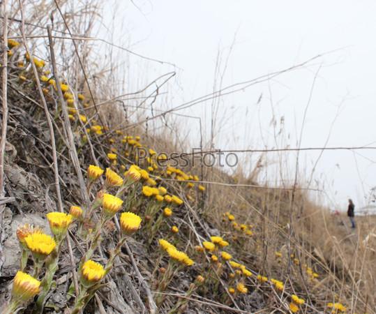 Группа желтых цветов мать-и-мачехи на склоне с сухой прошлогодней травой