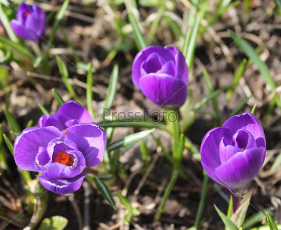 Группа весенних цветов крокусов
