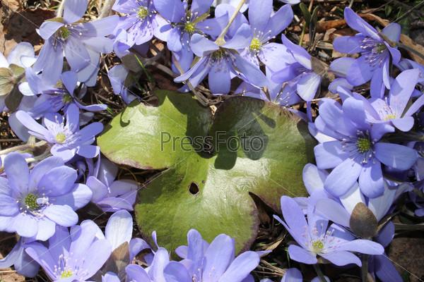 Зеленый лист с лесными дикими весенними цветами фиалками